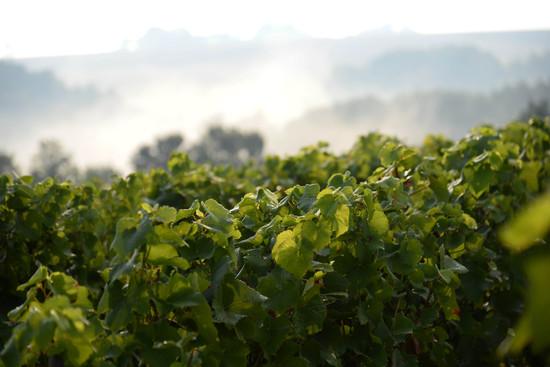 Le Crémant de Bourgogne au domaine Moutard
